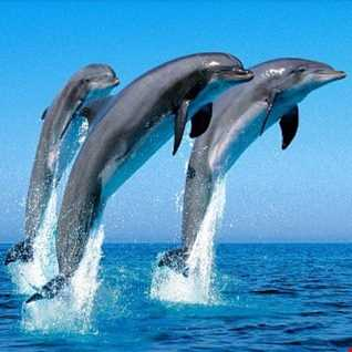 GreyBird   Dolphins